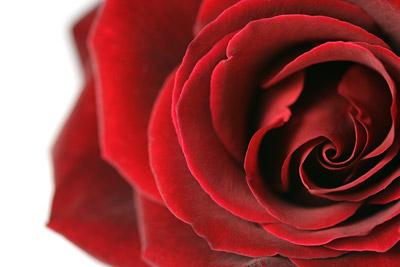 Red Rose II...