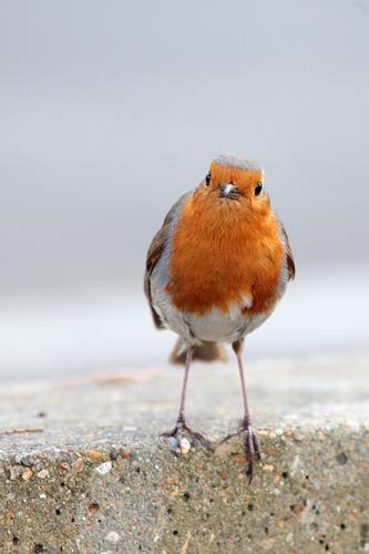 Robin III.....