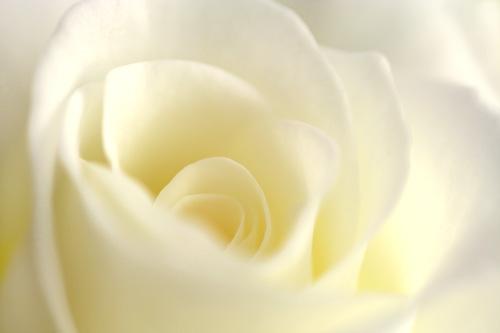 Creamy Rose...