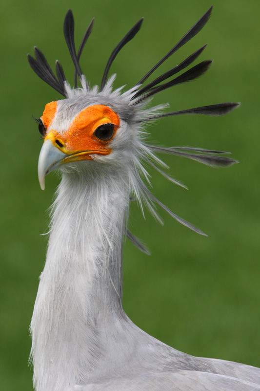 Secretary Bird....