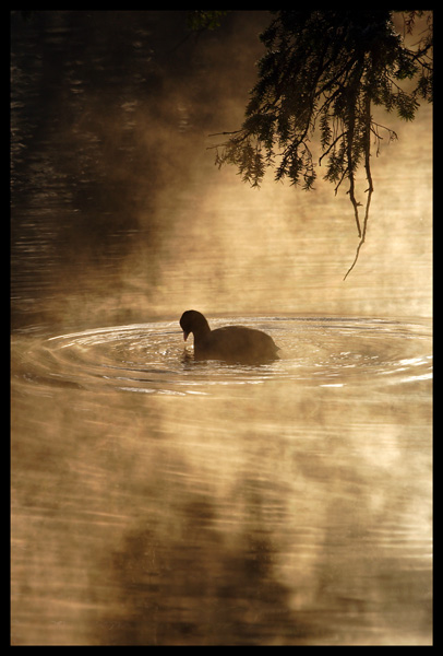 Misty Coot...