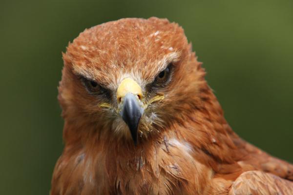 Tawny Eagle...