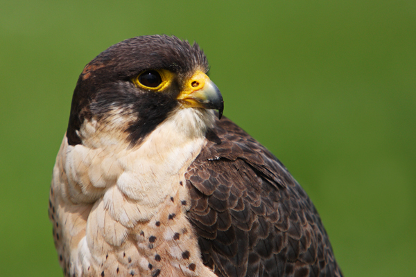 Peregrin Falcon...