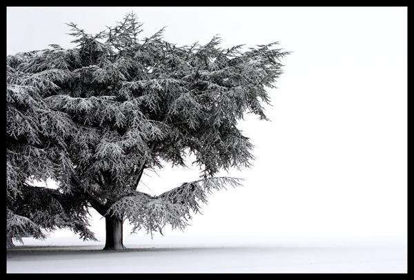Snow Tree..