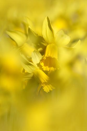 Abstract Daffodils....