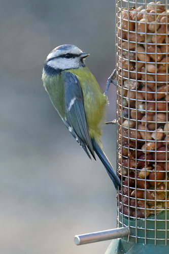 Blue Tit on Peanuts.....