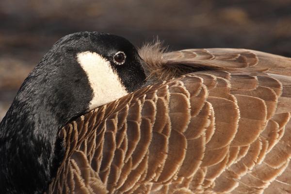 Canada Goose - Stanley Park