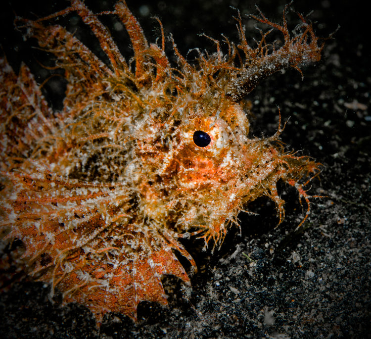Weedy Scorpion Fish