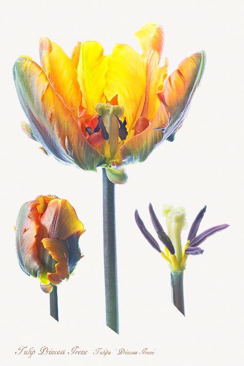 15-Tulip Princess Irene