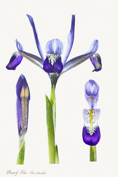 5-Dwarf Iris