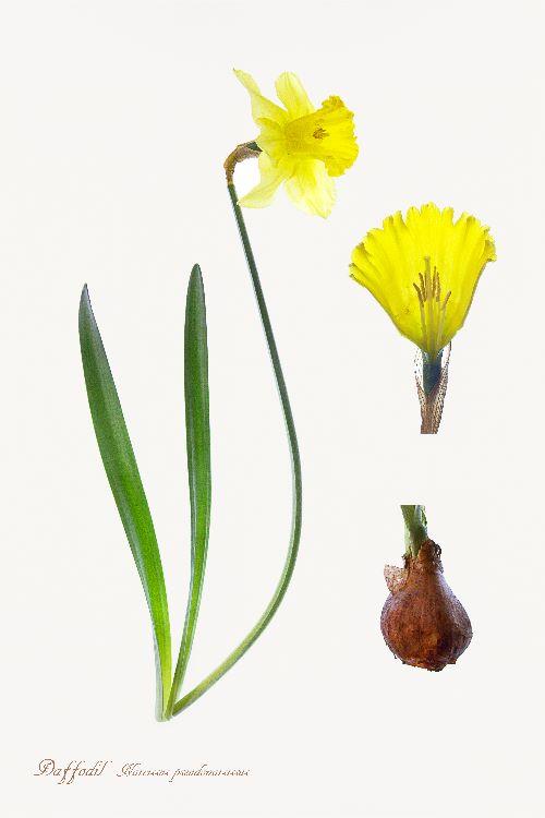6-Daffodil