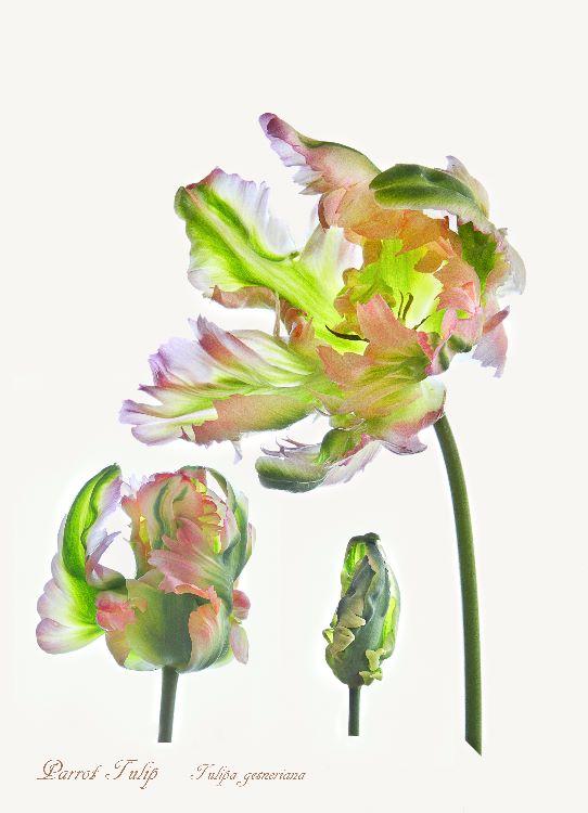 9-Tulip Parrot Weber