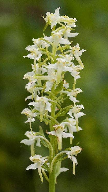 Butterfly Orchid (1)