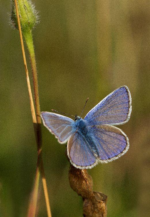 Common Blue (2)