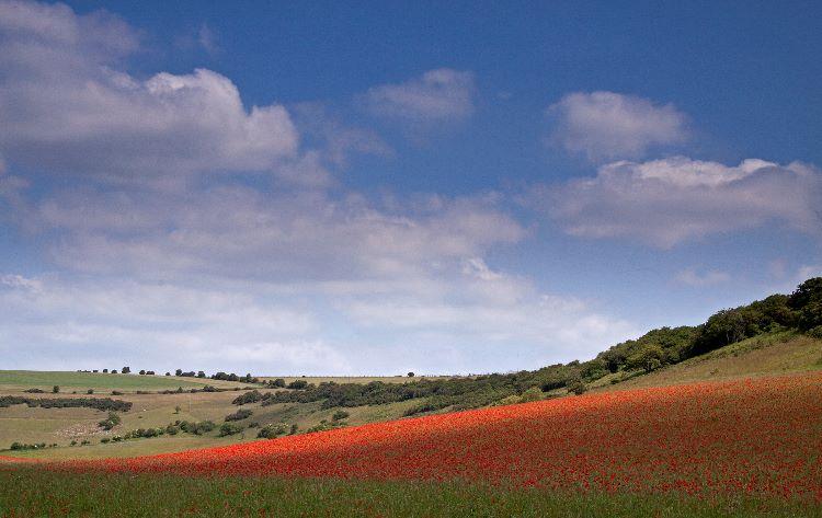 Devil's Dyke Poppies