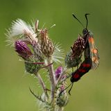 Six Spot Burnett Moth