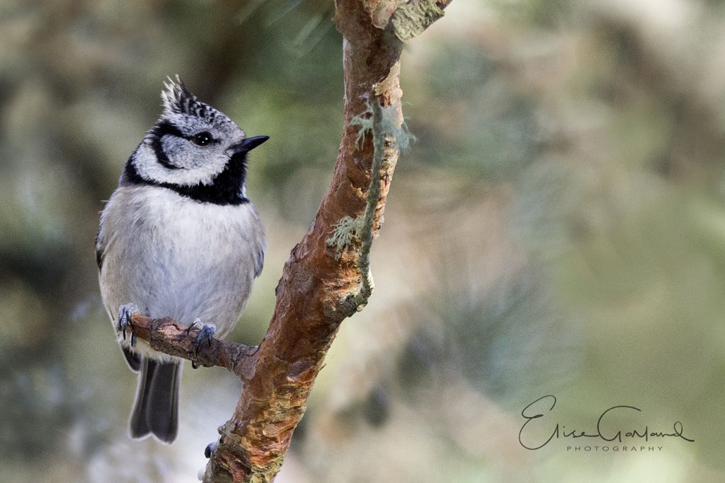 Crested tit, Cairngorms
