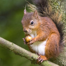 Red Squirrel in the Yorkshire Dales