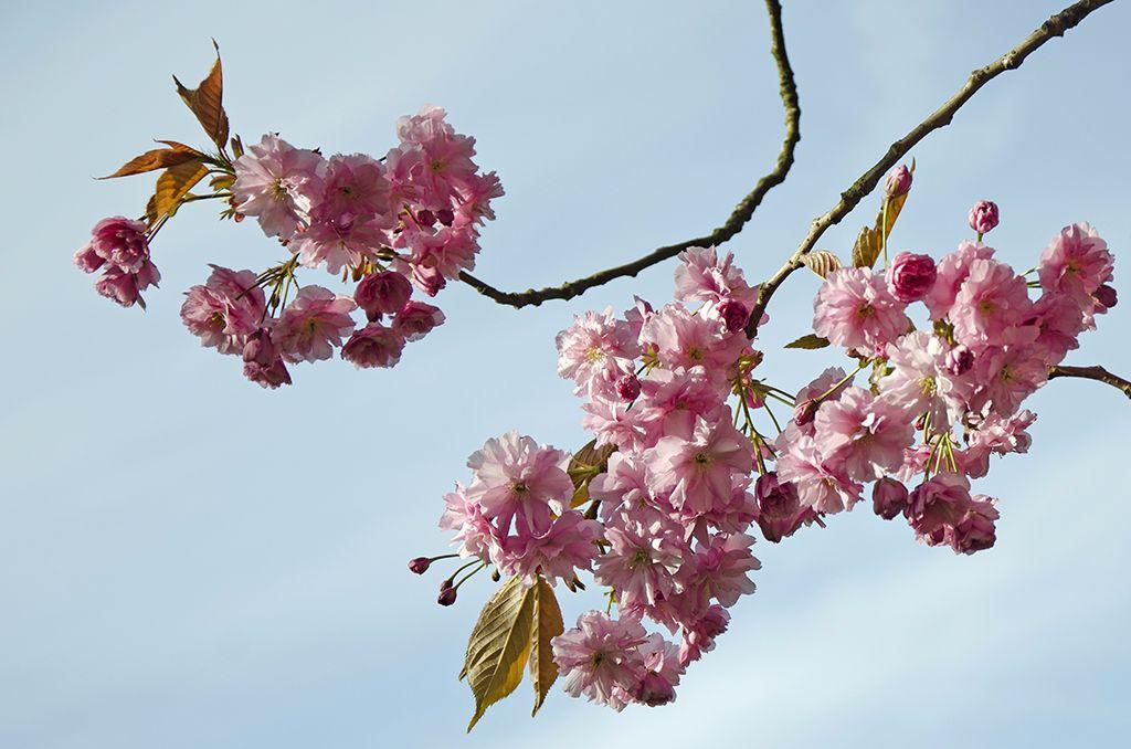 Blossom at Sledmere