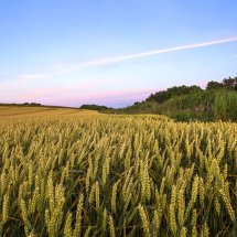 Cayton wheat field