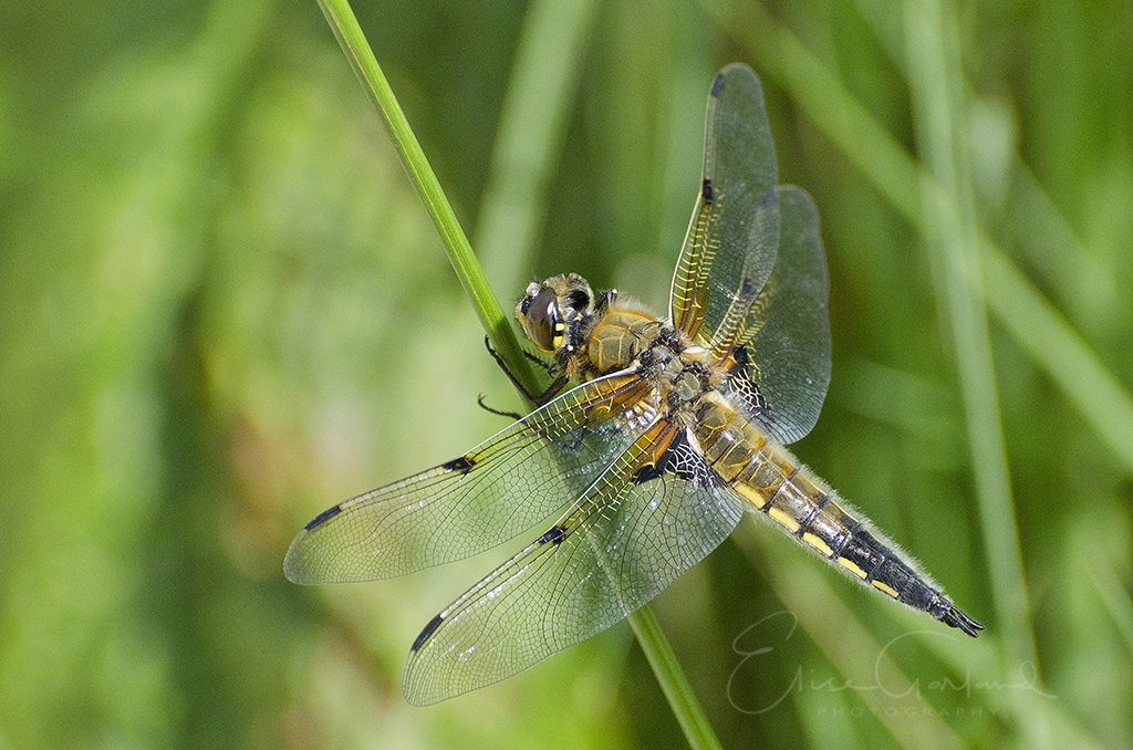Dragon fly at Scampston lake