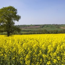 Otley rape field