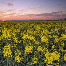 Hunmanby rape field at sunset