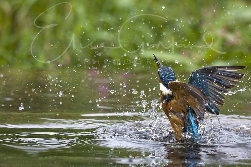 Kingfisher emerging from dive