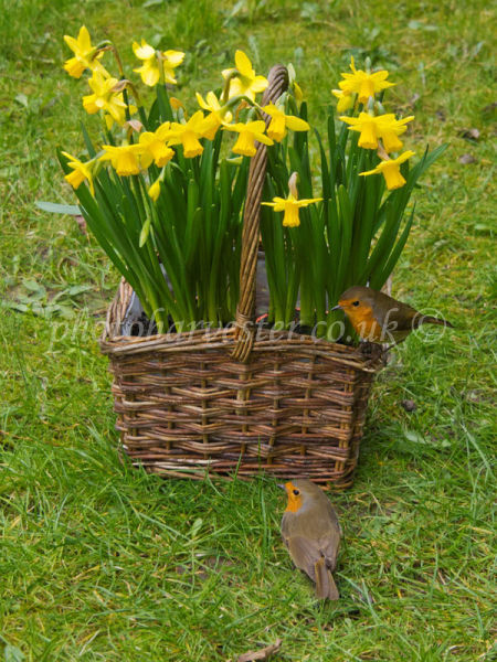 Mr and Mrs Robin on Daffodil Basket