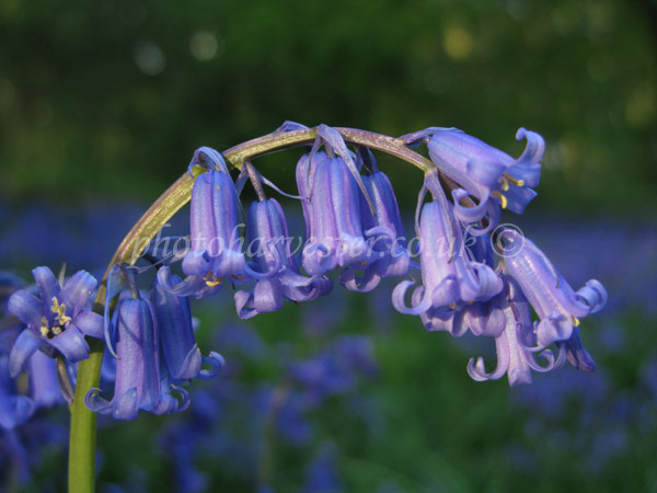 A Specimen English Bluebell in Woodland