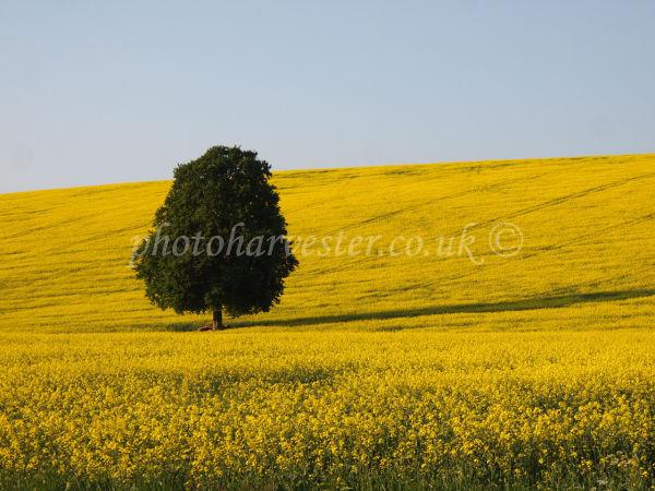 Beech Tree in a Yellow Oilseed-Rape Field