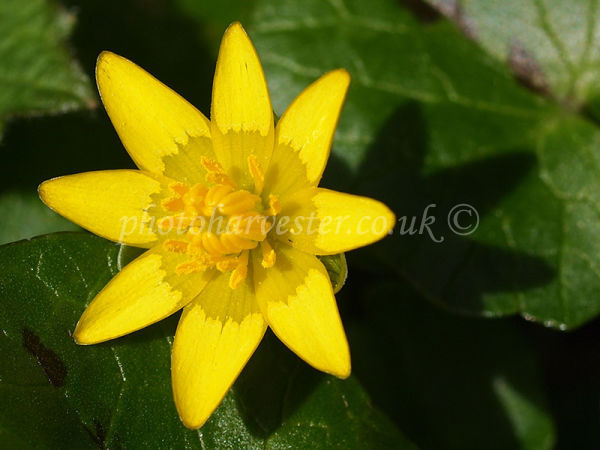 Celandine with its Shadow