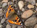 Small Tortoiseshell Butterfly on Stones.
