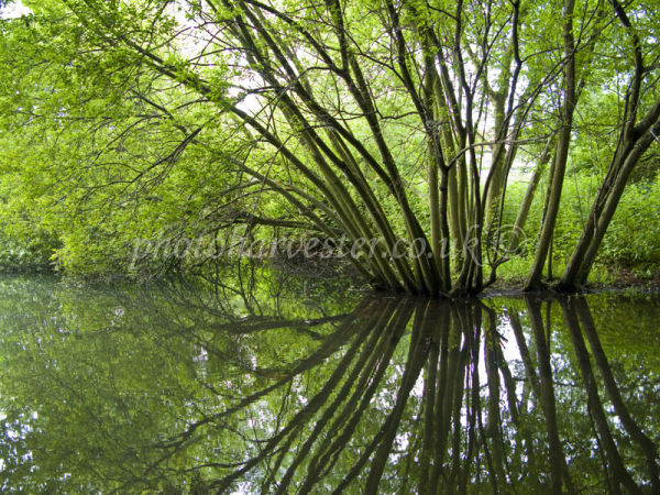 Reflected Willow