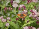 Small Tortoiseshell Butterfly on Astrantia