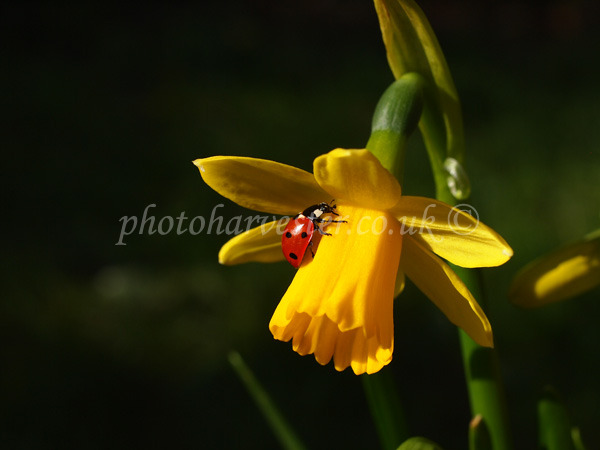 Ladybird on Yellow Daffodil