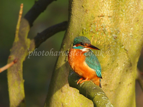 Kingfisher by the Ver