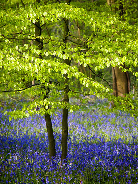 Beech Leaves and Bluebells