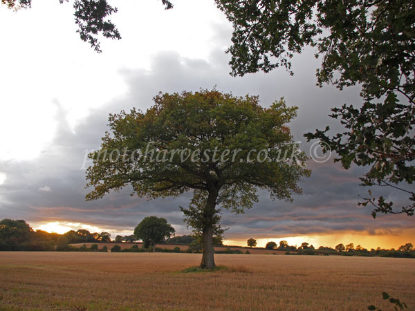 Specimen Oak in Late September