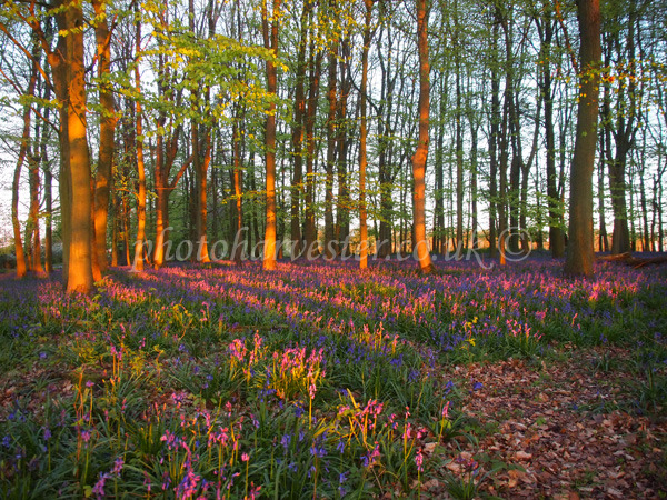 Bluebells Tinged with Pink