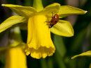 Ladybird on Tete a Tete