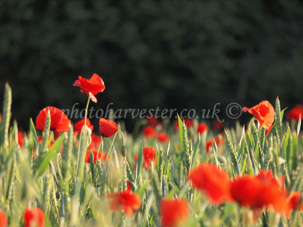 Poppies in Green Corn