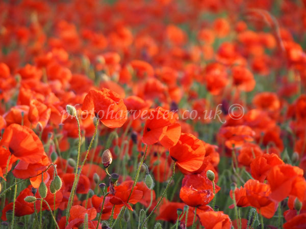 Poppies Galore at Heartwood