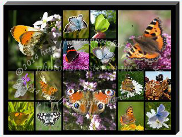 A3 Butterfly Collage-2
