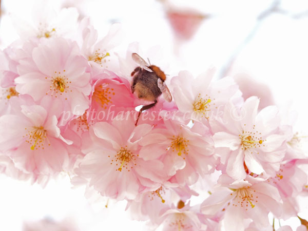 Bumble on Blossom