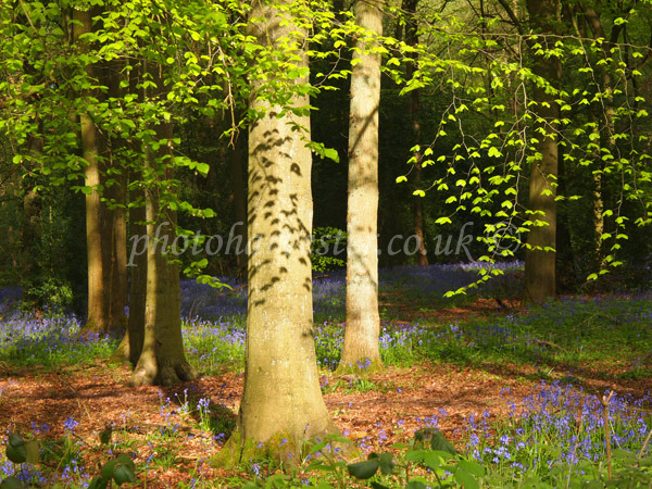 Beech Woodland Canopy with Leafy Shadows