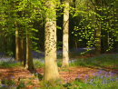Beech Woodland Canopy with Leafy Shadows