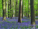 Bluebells and tree Trunks