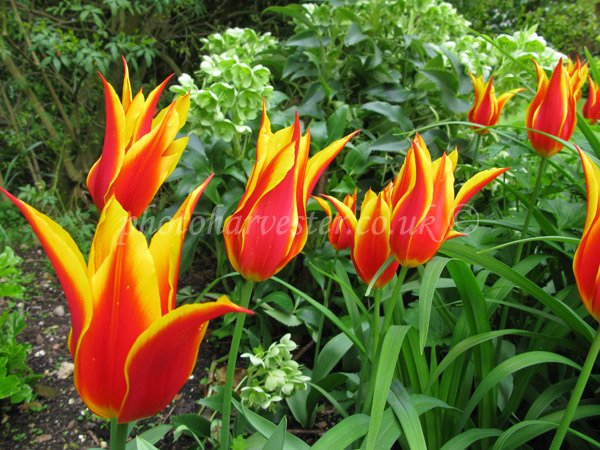 Tulip Flyaway