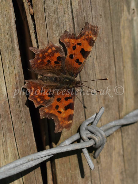 No Barriers for a Comma Butterfly